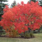 Amur Flame Clump Maple Tree