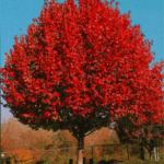 Autumn Blaze Maple Tree Planted