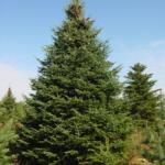 Balsam Fir Tree