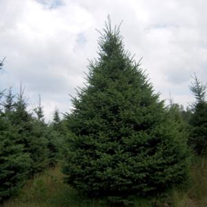 Black Hills Spruce Tree