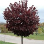 Canadian Cherry Tree