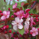 Flowering Crabapple Tree