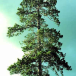 Norway Red Pine