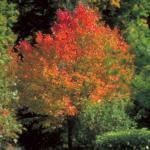 Rubrum's Northwoods Maple