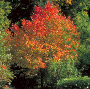 Rubrum's Northwoods Maple