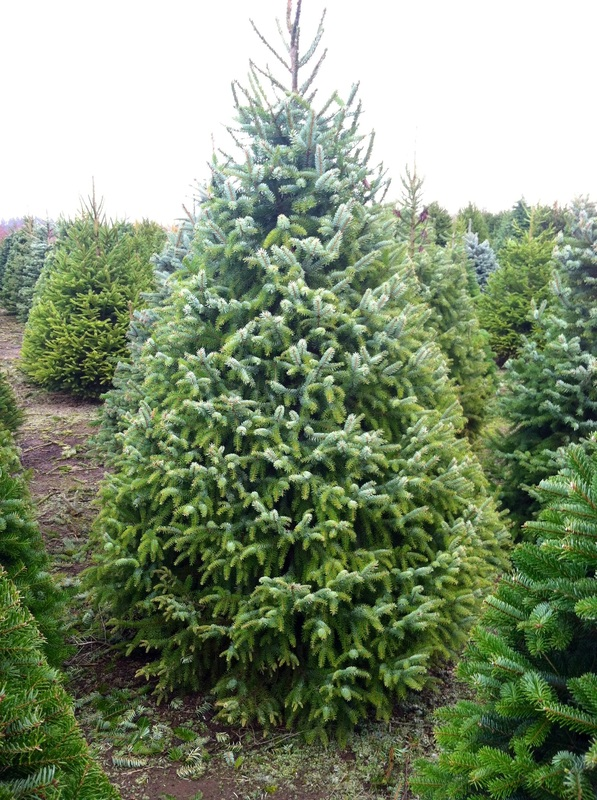 White Spruce Christmas Trees