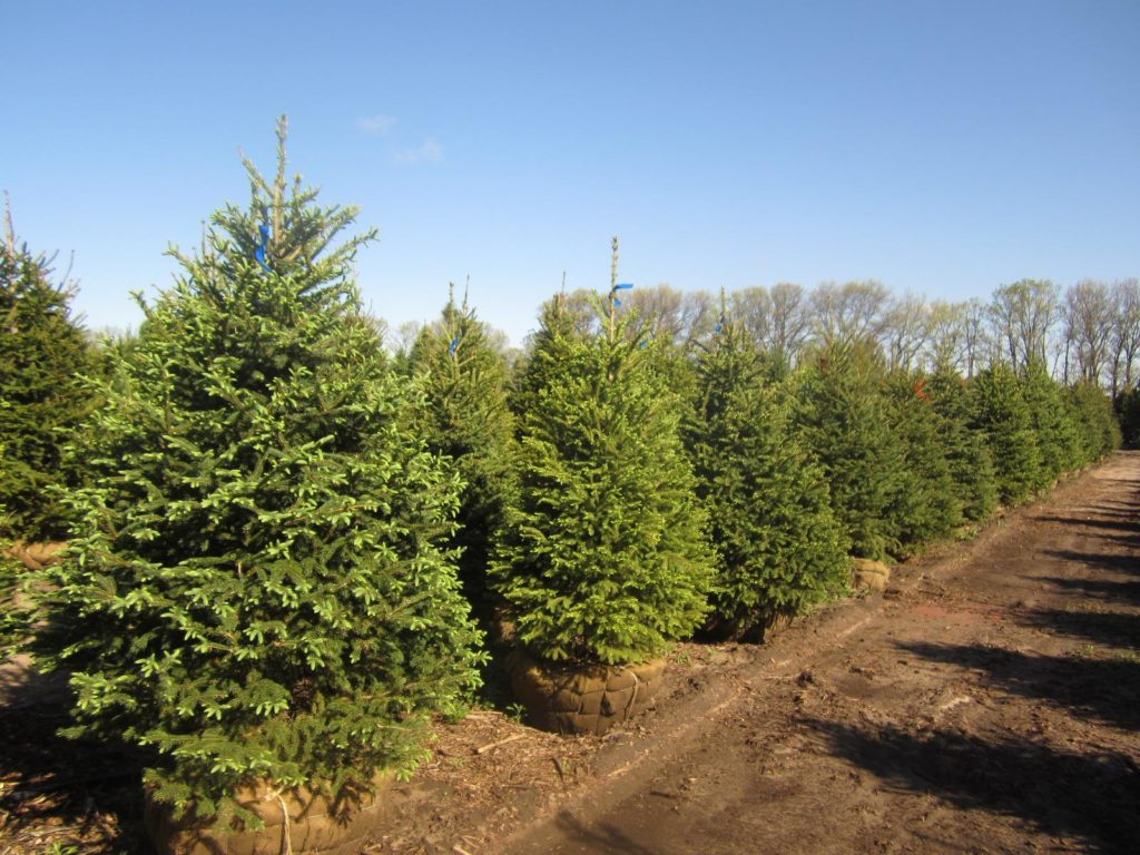 Christmas and landscape trees in central minnesota bj for The evergreen