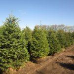 Landscape Evergreen Trees