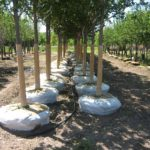Landscape Trees For Sale
