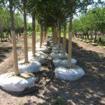 Landscape Trees For Sale